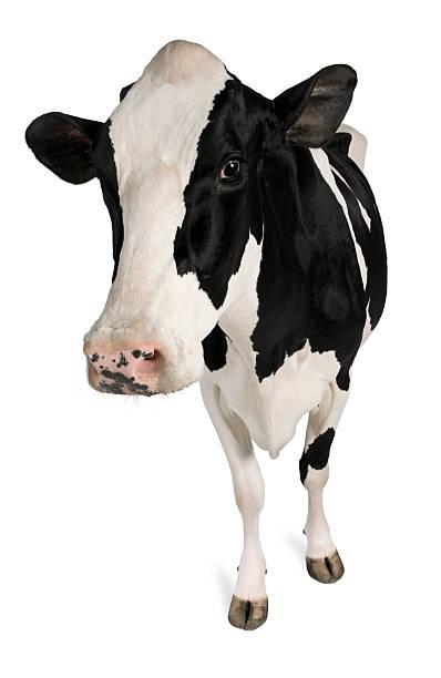 cow bovine for ultrasound machines for sale page vet veterinary veterinarian medican examinations scanner sonogram equipment system